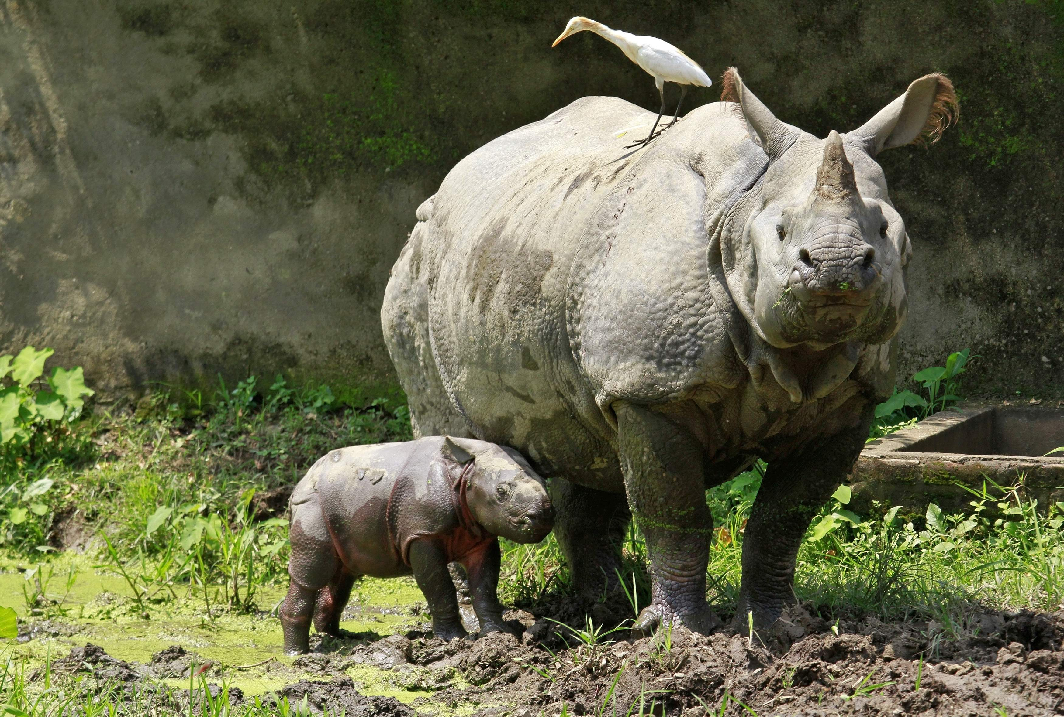 A one-horned rhino named Baghekhaity stands next to its 10-day-old calf at a zoo in Guwahati, in the northeastern Indian state of Assam, September 10, 2013. The calf was born on September 1 under the conservation breeding programme for one-horned rhinos in the state, local media reported. REUTERS/Utpal Baruah (INDIA - Tags: ANIMALS) - RTX13FCW