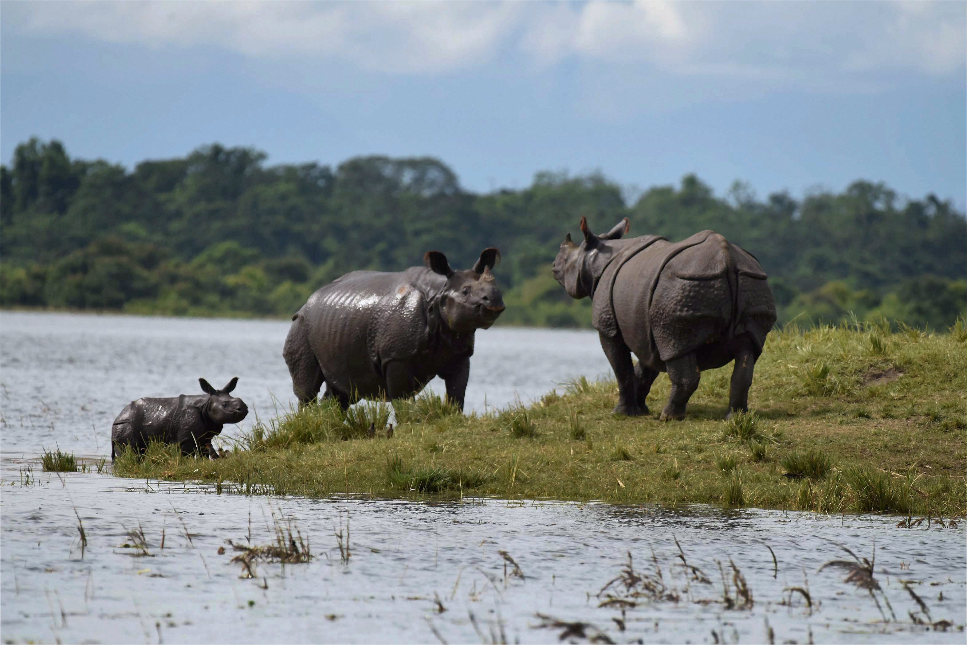 Kaziranga: Indian one-horned Rhinos stand at an elevated area inside the flood affected Kaziranga National Park in Assam on Thursday. PTI Photo (PTI7_6_2017_000231A)