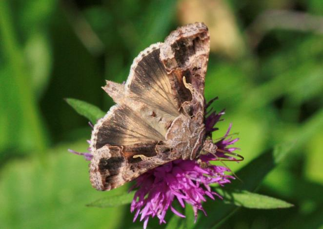 The silver Y moth (Autographa gamma), pictured, is a major component of the large night-flying insect migrants studied by radar in the new study, measuring migration annually over a region in south-central England monitored with specialized radar and a balloon-supported aerial netting system, scientists said, December 22, 2016. Ian Woiwod/Handout via REUTERS