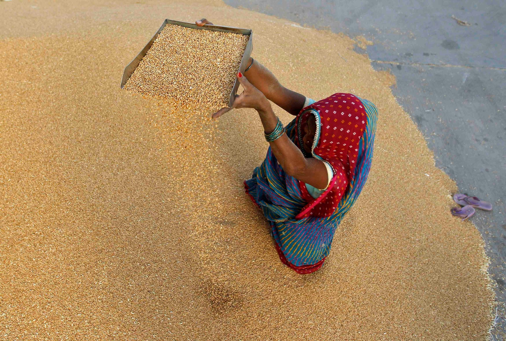 A woman winnowing wheat at a wholesale grain market on the outskirts of Ahmedabad, Gujarat, May 7, 2013. Credit Amit Dave/Reuters
