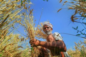 Jaipur: A farmer harvests wheat crop at a field in Chandlai village of Jaipur on Friday. PTI Photo(PTI3_23_2018_000200B)