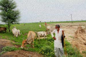 Kolgaon Cows Photo The Wire