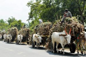 Karad: Bullock carts loaded with sugarcane move towards a sugar mill, in Karad, Maharashtra, Monday, Nov 05, 2018. (PTI Photo)(PTI11_5_2018_000061B)