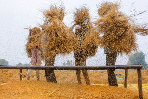 Amritsar: Farmers thrash paddy at a field near Amritsar, Saturday, Nov. 2, 2019.(PTI Photo)(PTI11_2_2019_000126B)