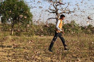 खेतों में उड़ती टिड्डियों के बीच किसान. (सभी फोटो: माधव शर्मा)