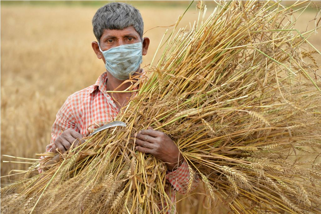 Chandigarh: A farmer holds harvested crops as he poses for the photographer during the nationwide lockdown in the wake of coronavirus pandemic, on the outskirts of Chandigarh, Wednesday, April 22, 2020. (PTI Photo)(PTI22-04-2020_000081B)