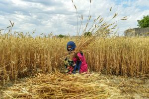 Ghaziabad: A woman reaps wheat crops during the harvest season amid the nationwide COVID-19 lockdown, near Raispur village in Ghaziabad district of Uttar Pradesh, Monday, April 20, 2020. (PTI Photo/Arun Sharma)   (PTI20-04-2020_000236B)