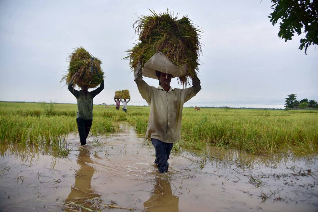 Nagaon: Farmer carry bunches of paddy on their heads after harvesting from a field, at Magurmari near Kampur in Nagaon district of Assam, Friday, May 22, 2020. Incessant rainfall for the last two days has led to a rise in the water level of the Barpani River inundating a vast tract of farmlands. (PTI Photo) (PTI22-05-2020 000086B