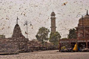 हाल ही में टिड्डियों का झुंड राजस्थान की राजधानी जयपुर के रिहायशी इलाकों में घुस गया था. (फोटो: पीटीआई)