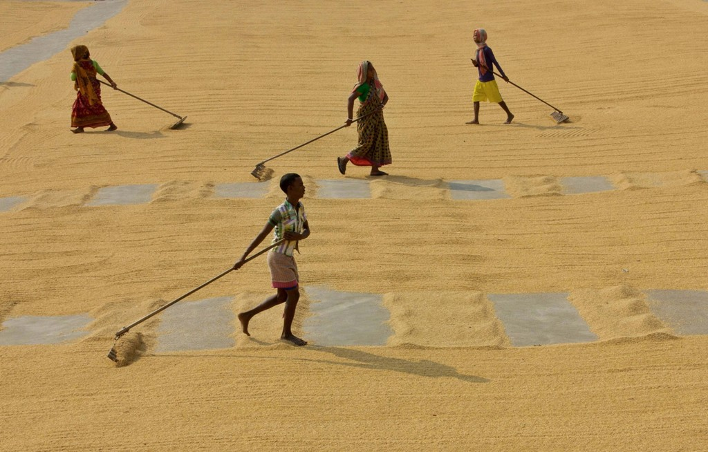 Nadia: Workers spread rice grain on a field for drying in the sun, at a field in Nadia district, Friday, une 12, 2020. (PTI Photo) (PTI12-06-2020_000018B)
