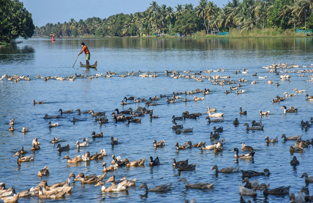 Alappuzha: Farmers guide ducks towards a cage for thier culling, following detection of Avian Influenza (H5N8) at four places, in Alappuzha district of Kerala, Tuesday, Jan. 5, 2021. (PTI Photo) (PTI01 05 2021 000158B)