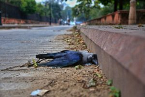 Jaipur: A dead crow at Ramniwas Garden, in Jaipur, Saturday, Jan. 9, 2021. An alert has been sounded across the country after the detection of bird flu cases in six states. (PTI Photo)(PTI01 09 2021 000174B)