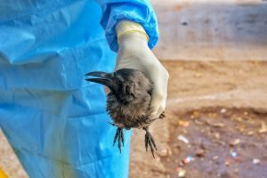 Jaipur: Forest department official picks a sick crow from a roadside near Jal Mahal in Jaipur, Tuesday, Jan. 5, 2021. A bird flu alert has been sounded in Rajasthan after the presence of the dreaded virus was confirmed in dead crows and other birds in Rajasthan. (PTI Photo)(PTI01 05 2021 000176B)