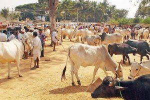 Cattle Market PTI