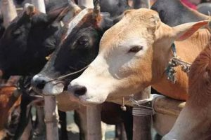 The pashu penth, or animal market, at Laxmi Nagar, about 8 km from the Yamuna Expressway on the road to Mathura is a jumble where everything seems to happen at the same time, with purpose mediating the disorder. (PTI)