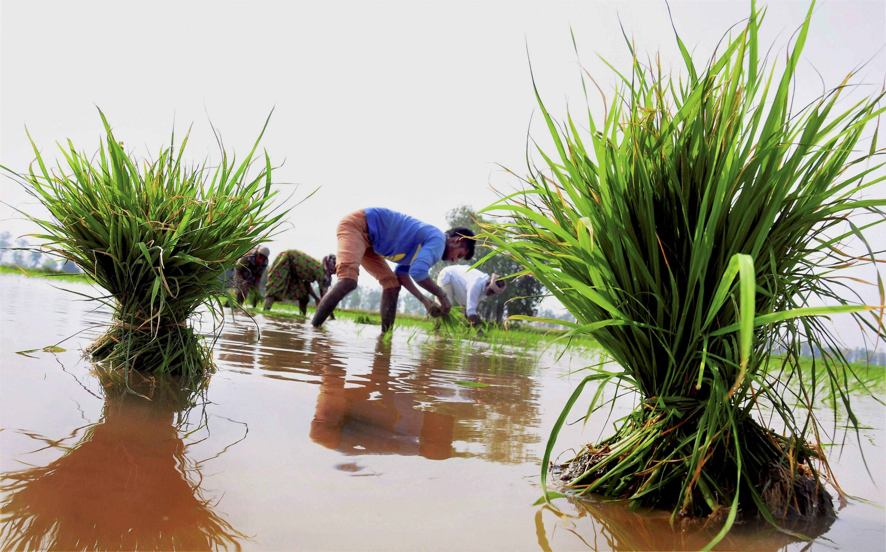 Amritsar: Farmers plant paddy seedlings in a field in a village near Amritsar on Friday. PTI Photo (PTI6_16_2017_000065B)