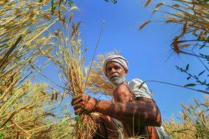 Jaipur: A farmer harvests wheat crop at a field in Chandlai village of Jaipur on Friday. PTI Photo(PTI3_23_2018_000200B)