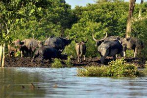 Kaziranga: Rhinos and buffalos take shelter at a high land  in the flooded Kaziranga National Park in Assam on Wednesday. PTI Photo    (PTI7_12_2017_000263B)