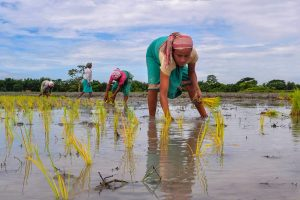 Baska: Farmers plant paddy saplings in a field at Boglamari, in Baska district of Assam on Wednesday, July 11, 2018. (PTI Photo) (PTI7_11_2018_000049B)