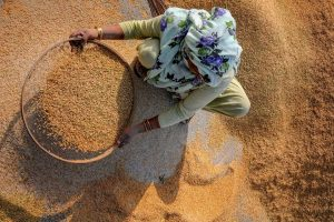 Amritsar: A woman worker stains chaff from the paddy grains at a wholesale grain market in Amritsar, Monday, Sept 17, 2018. The states of Punjab and the neighbor Haryana are key producers of the paddy crop in India, accounting about 15 percent of the country's total paddy output. (PTI Photo) (PTI9_17_2018_000136B)