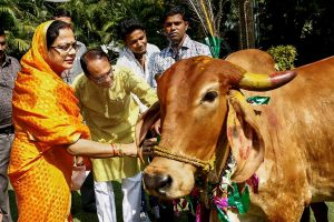 Bhopal: Madhya Pradesh Chief Minister Shivraj Singh Chouhan and his wife Sadhna Singh offer food to cows during 'Govardhan Puja' at his residence, in Bhopal, Thursday, Nov 08, 2018. (PTI Photo)(PTI11_8_2018_000095B)