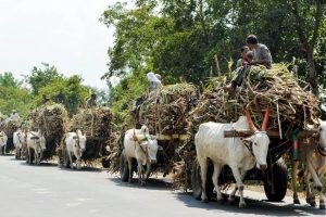 Karad: Bullock carts loaded with sugarcane move towards a sugar mill, in Karad, Maharashtra, Monday, Nov 05, 2018. (PTI Photo)(PTI11_5_2018_000061B)