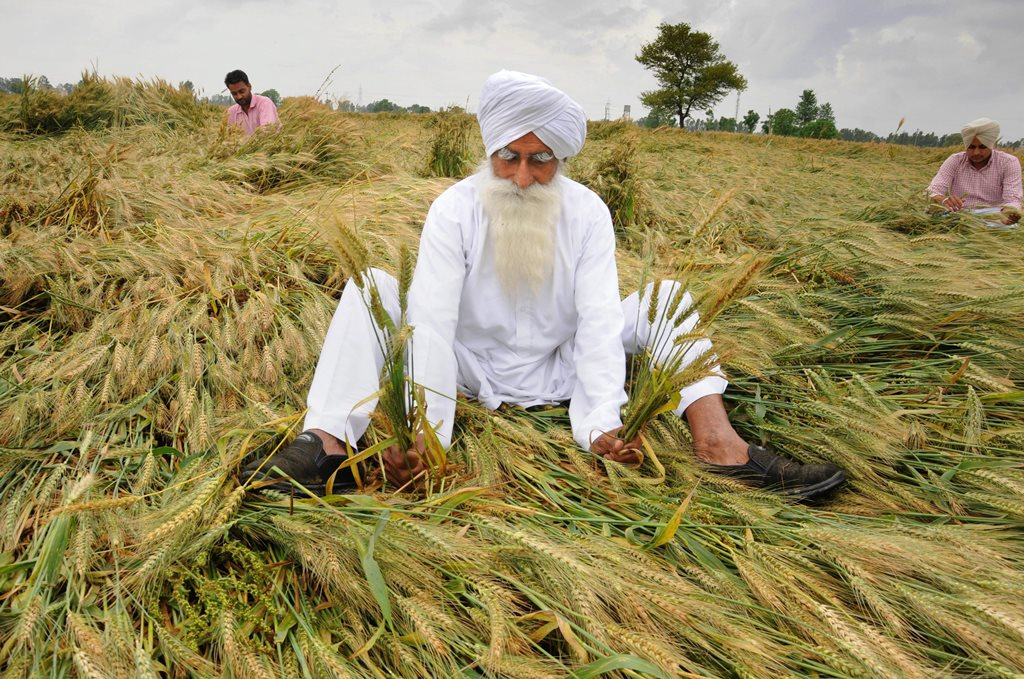 Amritsar: A farmer shows his wheat crop flattened and damaged by strong winds and rains on the outskirts of Amritsar, Wednesday, April 17, 2019. (PTI Photos)