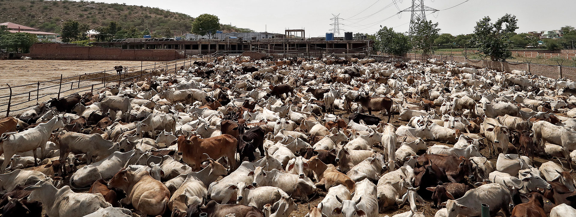 Cows are packed into a gaushala, or cattle shelter, in the town of Barsana that takes in cattle seized from Muslims by vigilantes in the Indian state of Uttar Pradesh. REUTERS/Cathal McNaughton