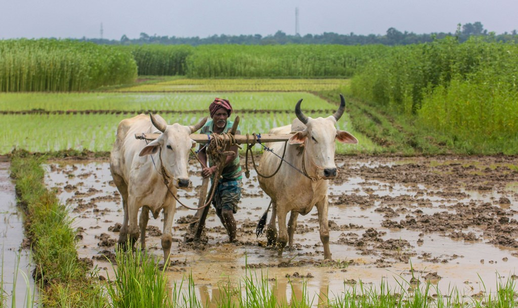 Nadia: A farmer prepares land for cultivation during Monsoon season, in Nadia district of West Bengal, Tuesday, July 9, 2019. (PTI Photo)(PTI7_9_2019_000060B)