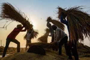 Jalandhar: Farmers thrash rice paddy at a field, in Jalandhar, Friday, Oct. 2, 2020. (PTI Photo)