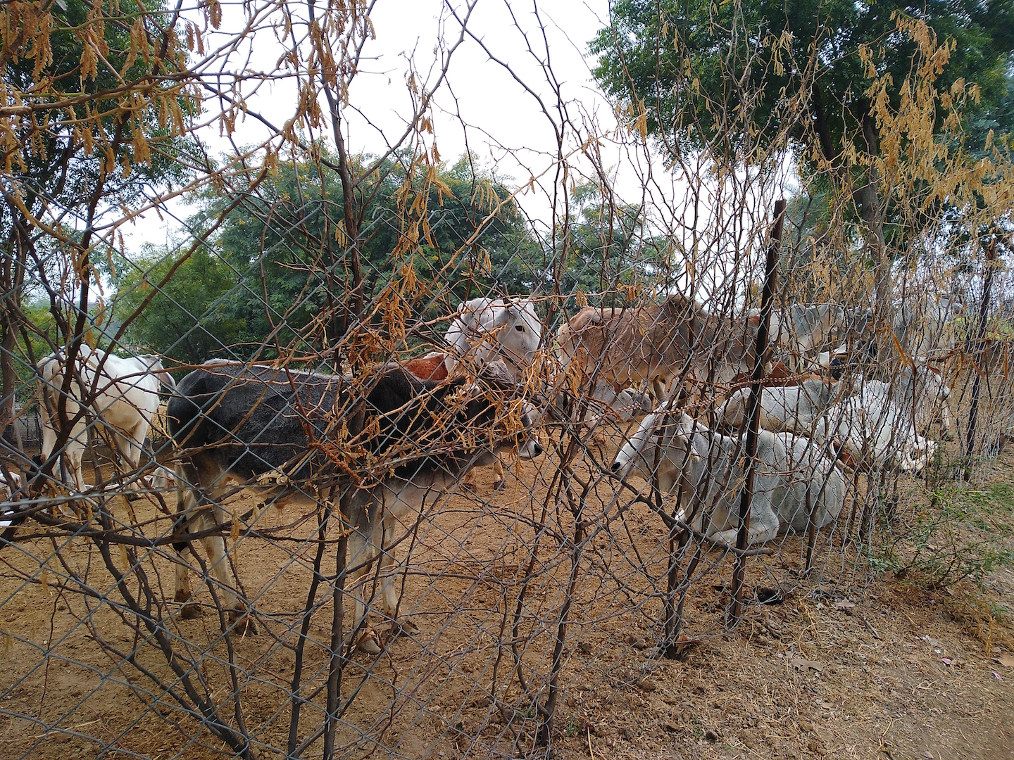 Bundelkhand Cow Shelter The Wire